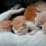 مراقبت از گربه باردار